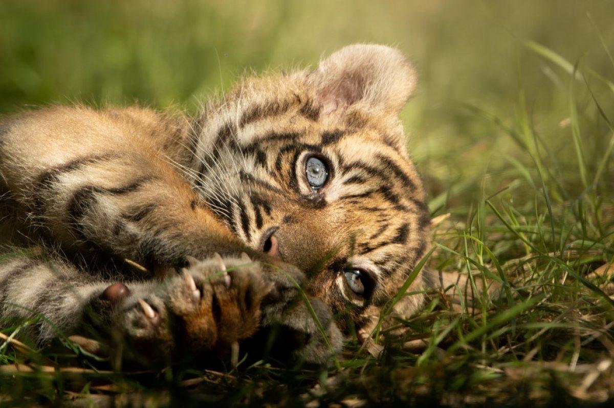 Nace un raro ejemplar de tigre de Sumatra en un zoológico de Polonia