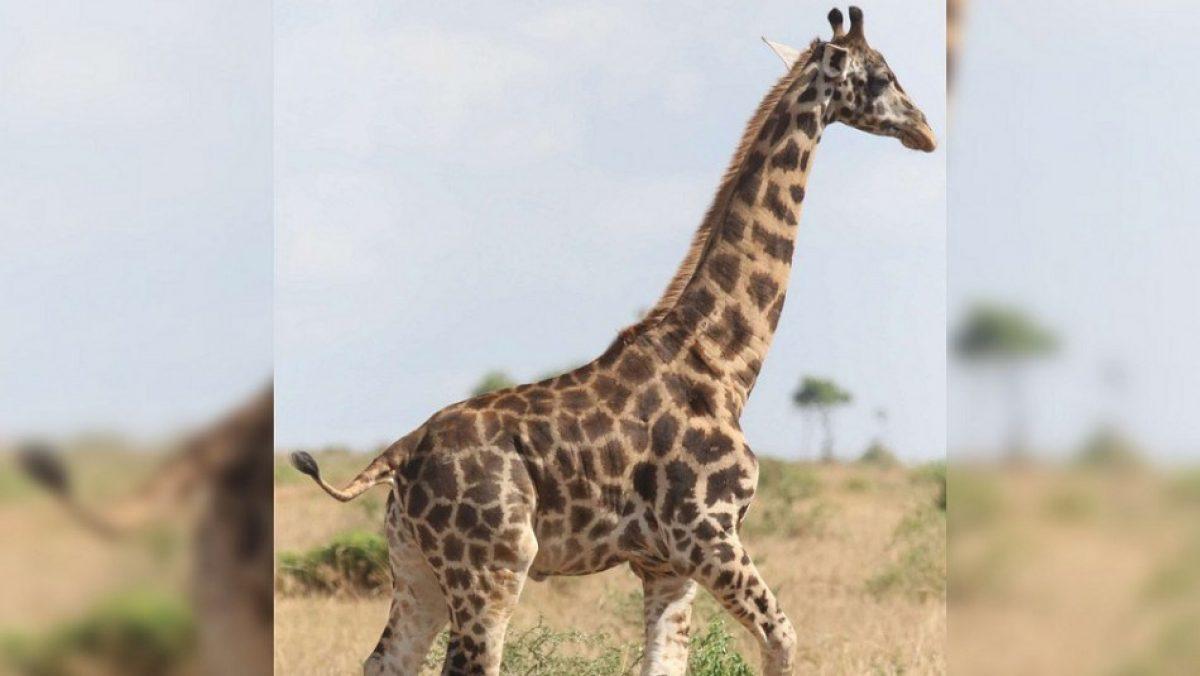 VIDEO | ¿Es normal? Científicos descubren dos casos de jirafas enanas