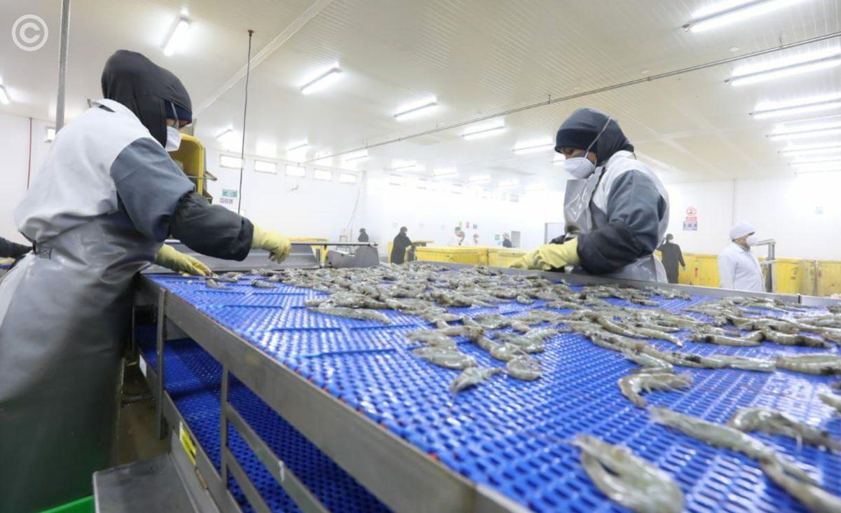 China reconoce avances positivos para levantar suspensión a tres establecimientos que exportan camarón ecuatoriano