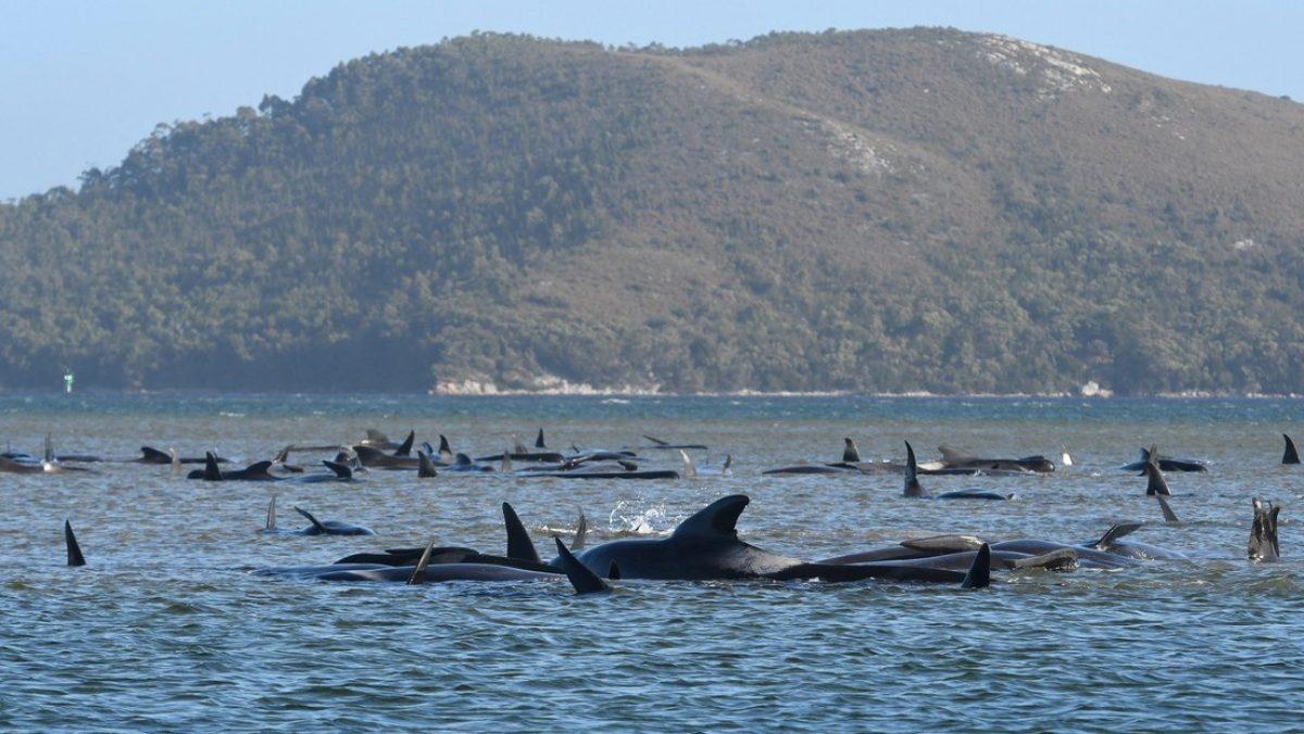 Mueren alrededor de 400 ballenas piloto en el mayor varamiento masivo registrado en Australia