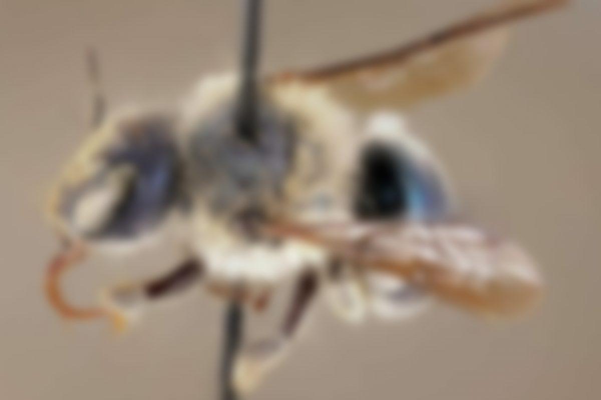VIDEO | ¿Abejas azules? Encuentran esta rara especie en Estados Unidos