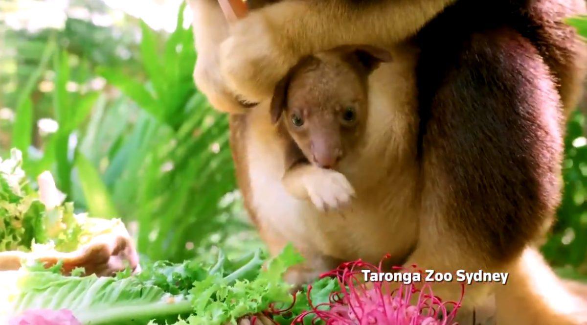 VIDEO | Bebé canguro es captado cuando se alimentaba desde la bolsa de su madre