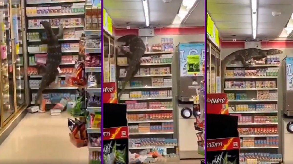 Un lagarto de dos metros apareció en una tienda para buscar comida