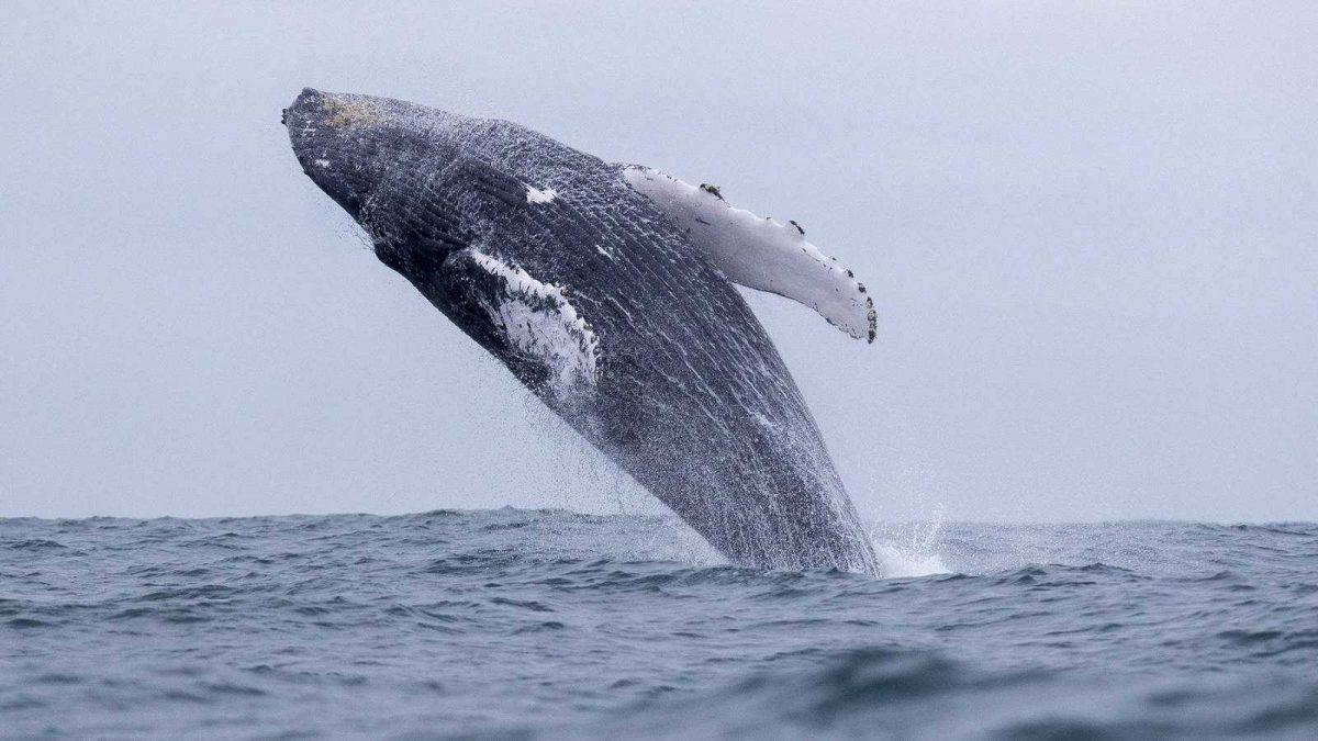 Así se 'abrazan' dos ballenas en peligro de extinción