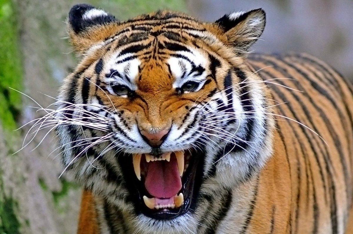Capturan en EE.UU. a un tigre de Bengala que deambulaba por un barrio