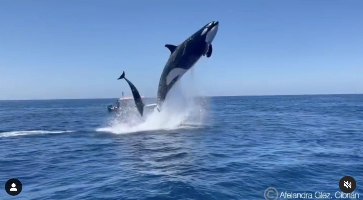¡Increíble! Una orca y un delfín chocan en el aire