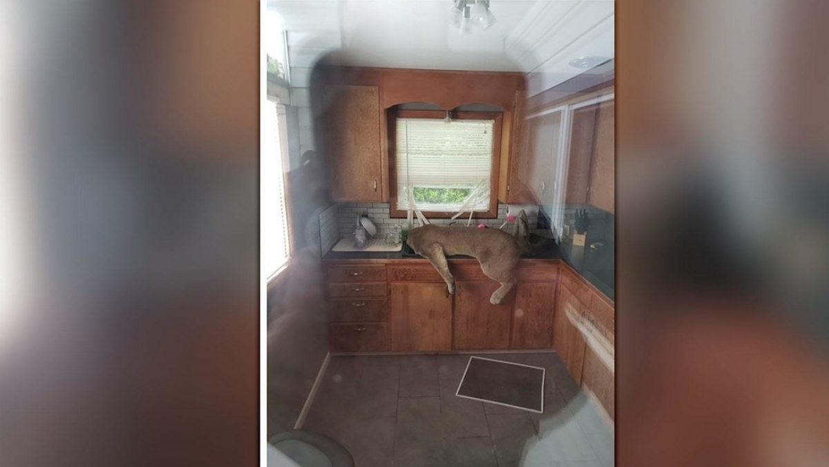 Encuentran a un puma inconsciente dentro de una cocina