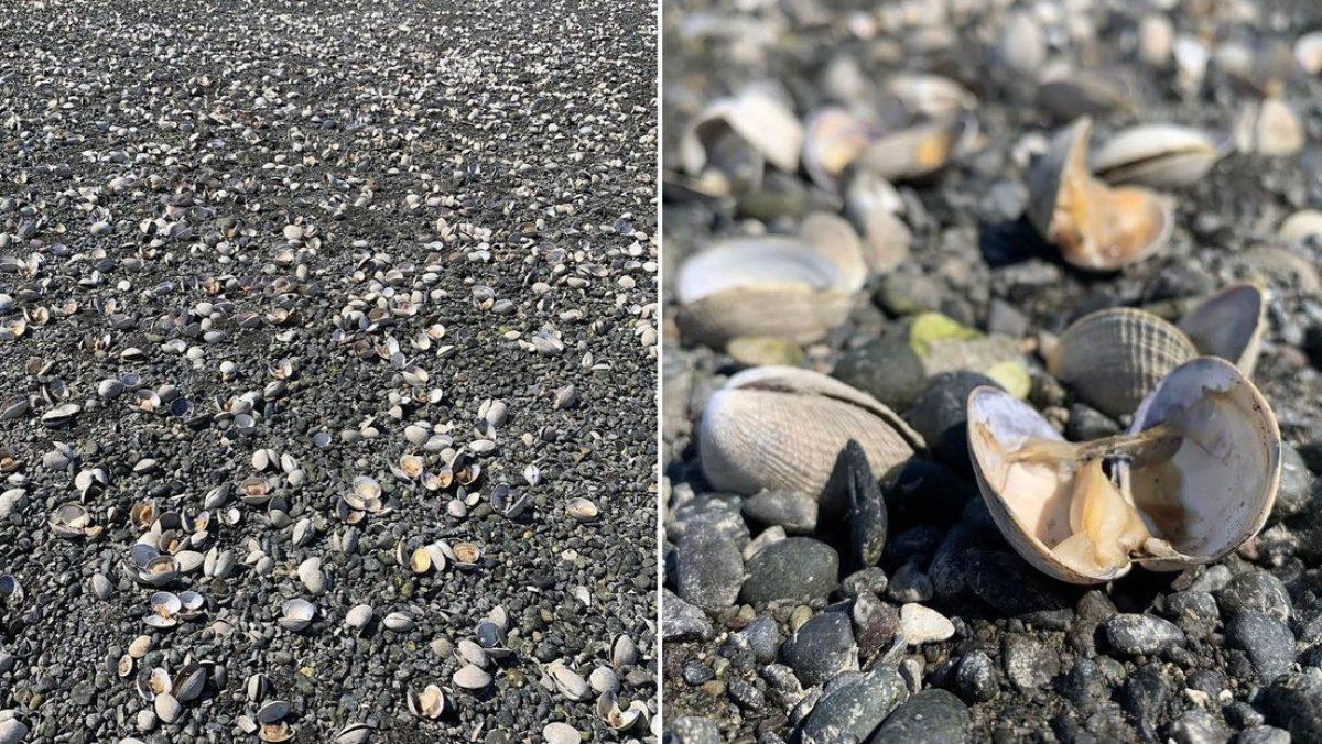 La fuerte ola de calor en EE.UU. provoca que cientos de almejas se cuezan en una playa