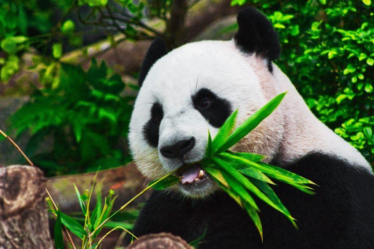 China elimina al oso panda de la lista de especies en peligro de extinción