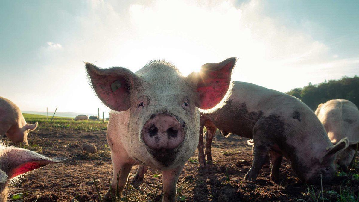 La gripe porcina africana golpea tres granjas de cerdos en Alemania