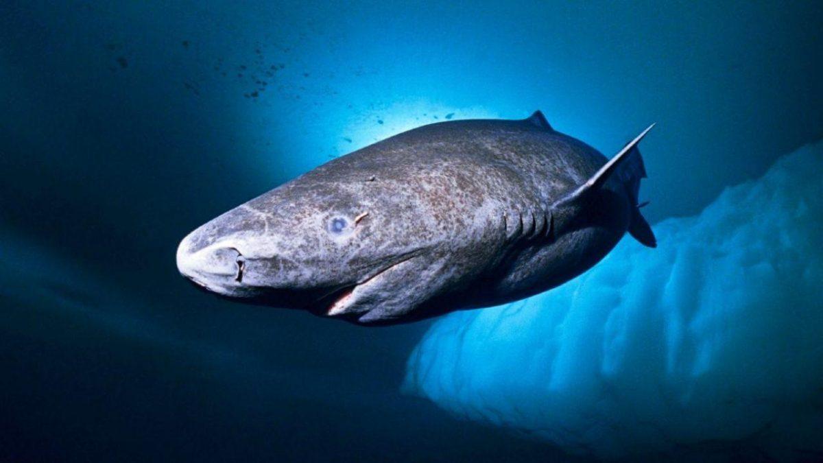 Así es el tiburón nacido en 1505, el animal más viejo del mundo