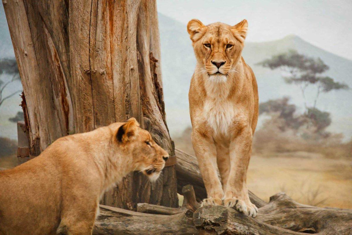 Leones matan a tres niños en Tanzania