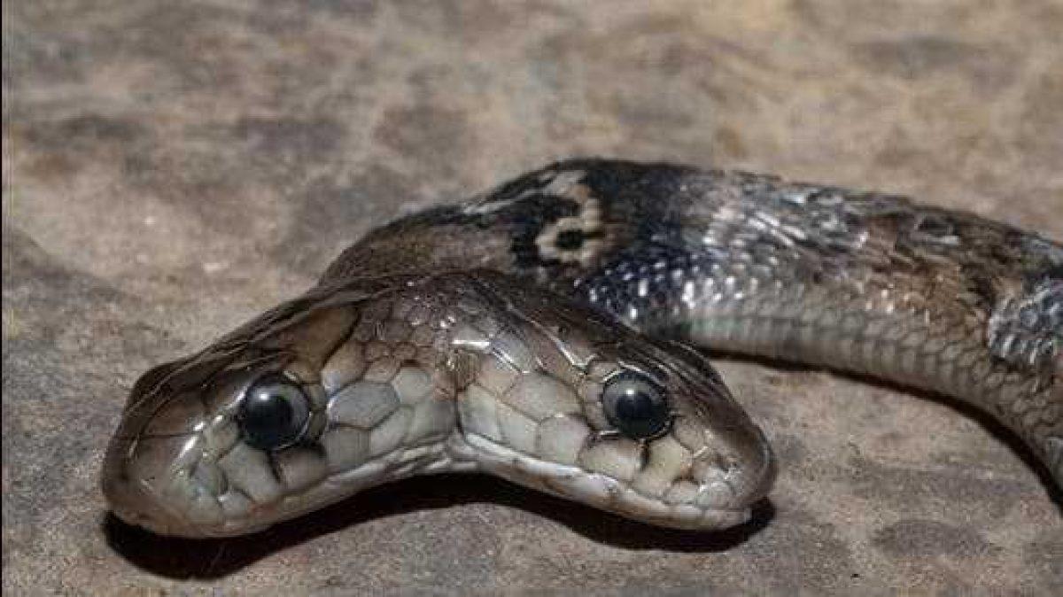 Encuentran una cobra con dos cabezas en India