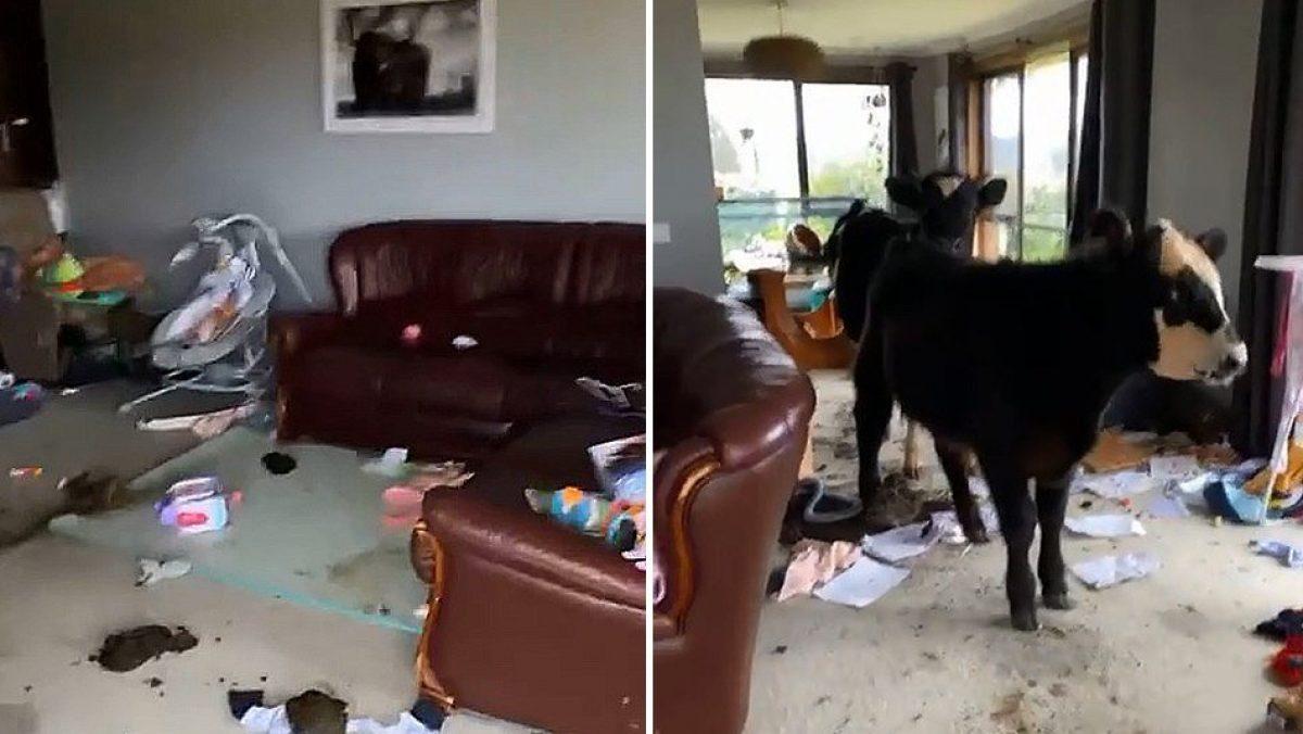 VIDEO: Dos vacas ingresaron a una casa y destruyeron todo a su paso