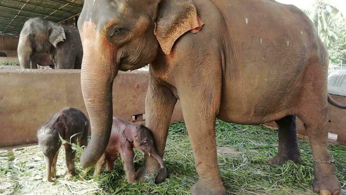 Alumbramiento en Sri Lanka de elefantes gemelos
