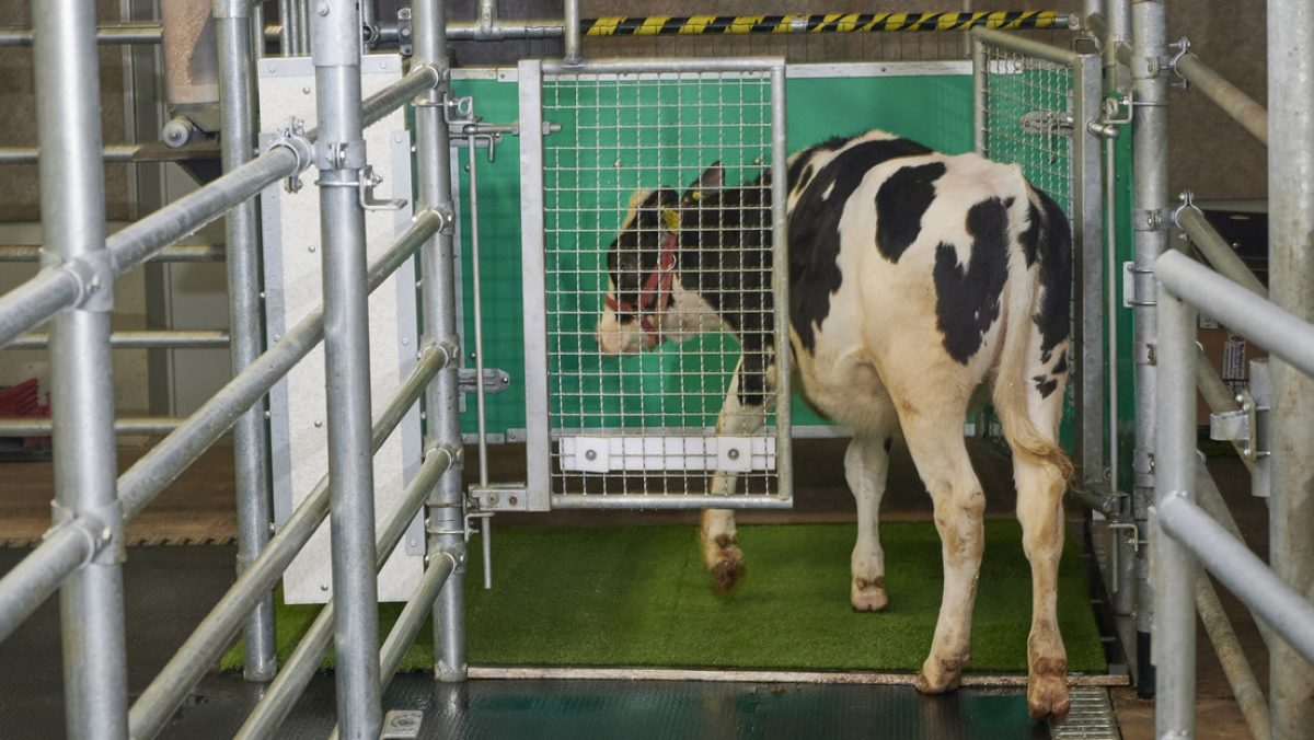 Enseñan a las vacas a 'usar el baño' para detener el cambio climático