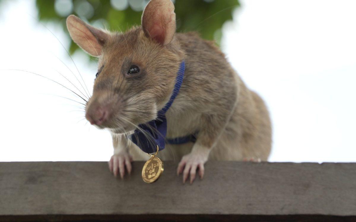 Rata gigante detectora de minas antipersonales fue galardonada por su valor