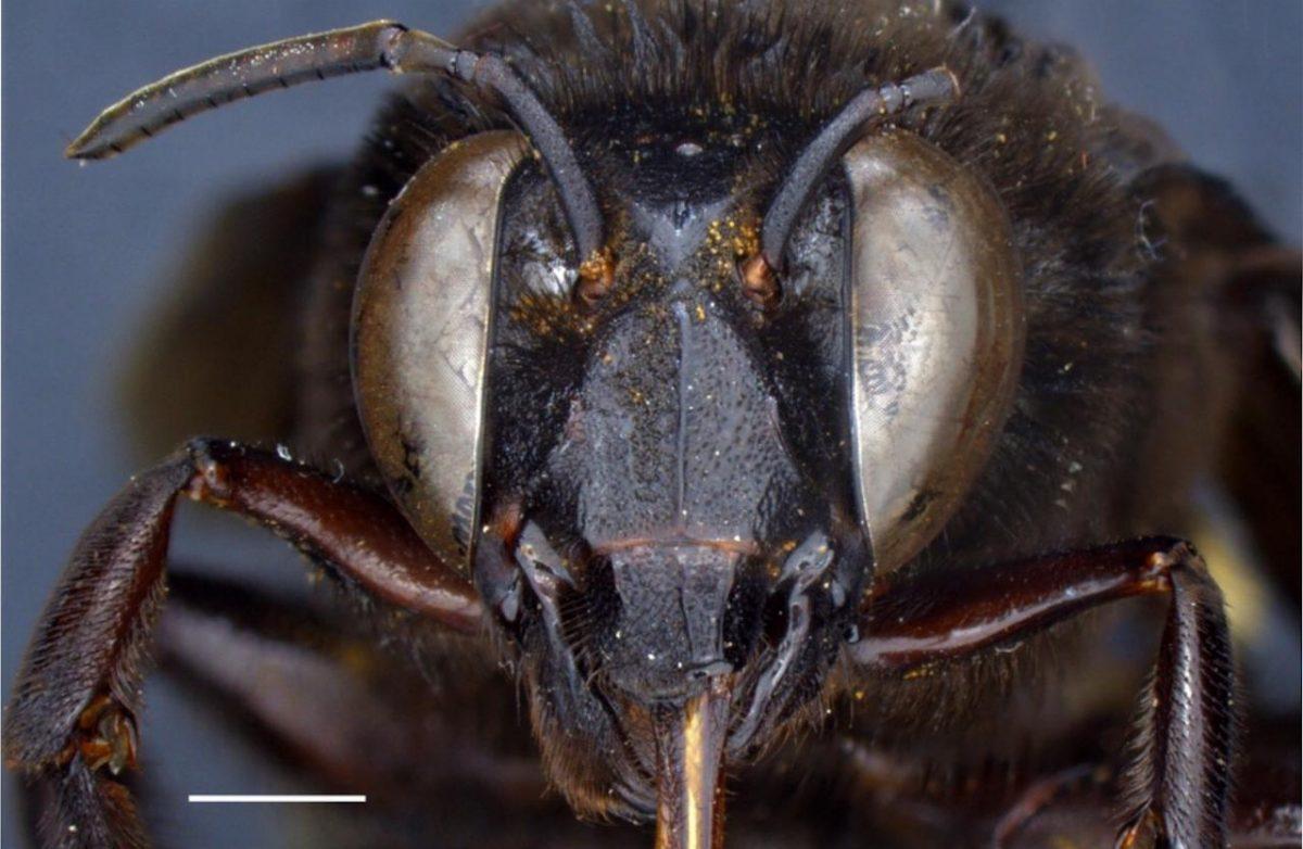Así es la primera abeja andrógina descubierta en Ecuador