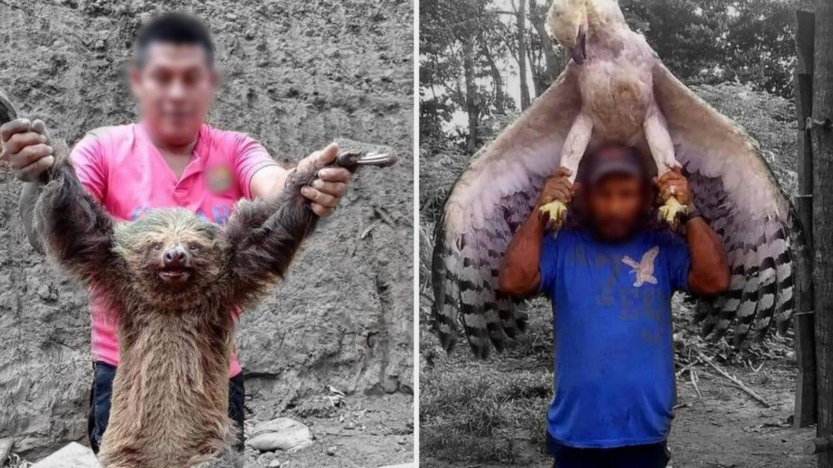Ecuador: Investigan el asesinato de un oso perezoso y una águila harpía