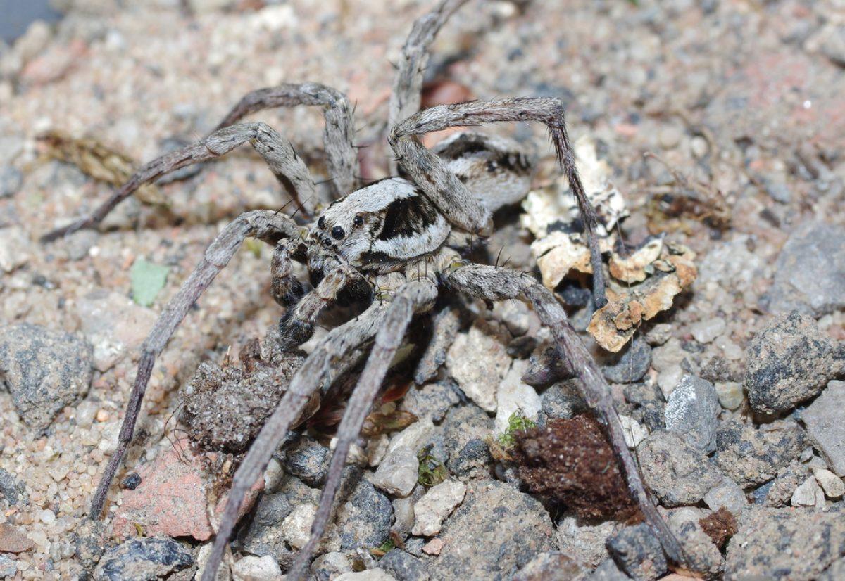 Hallan a una enorme araña 'extinta' que disuelve los órganos de sus víctimas