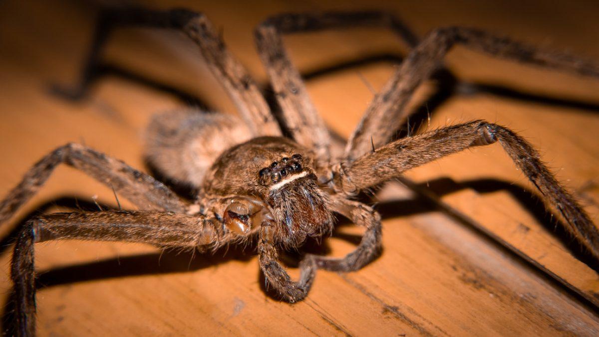 Una mujer ayuda a una enorme araña a dar a luz a 200 crías