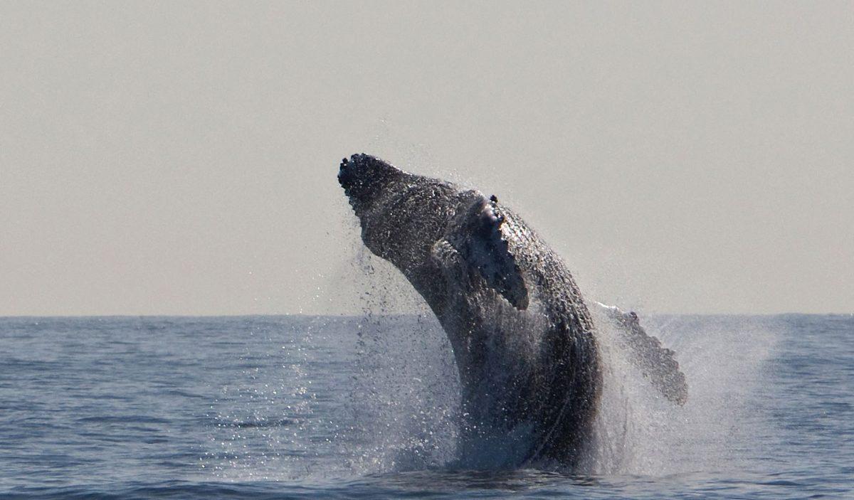 VIDEO | Dos ballenas jorobadas voltean en el aire frente a dos pescadores