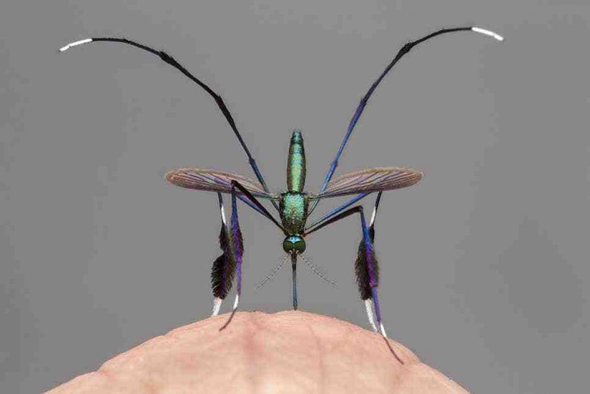 """Así es el mosquito """"más hermoso del mundo"""" que vive en Ecuador"""