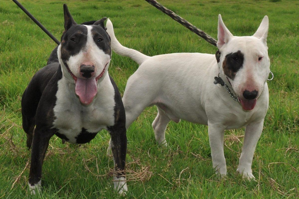 Misterio en Reino Unido: Mujer muere asfixiada por sus dos perros bull terriers