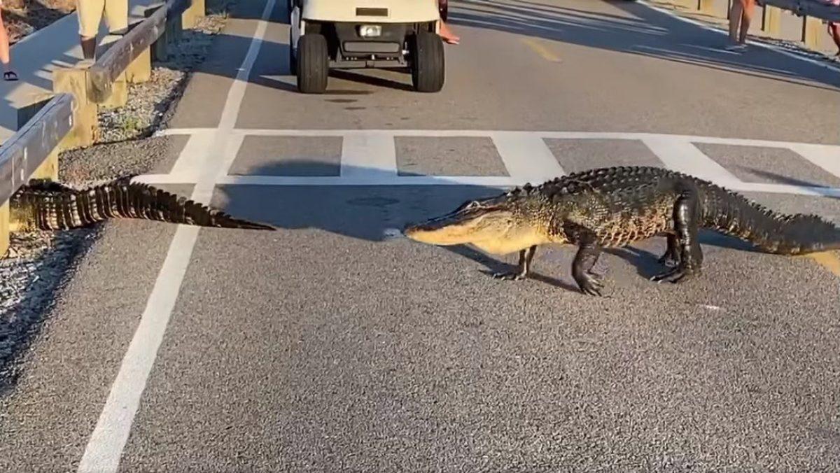 VIDEO | Conductores y peatones se detienen para que caimanes crucen un paso de cebra