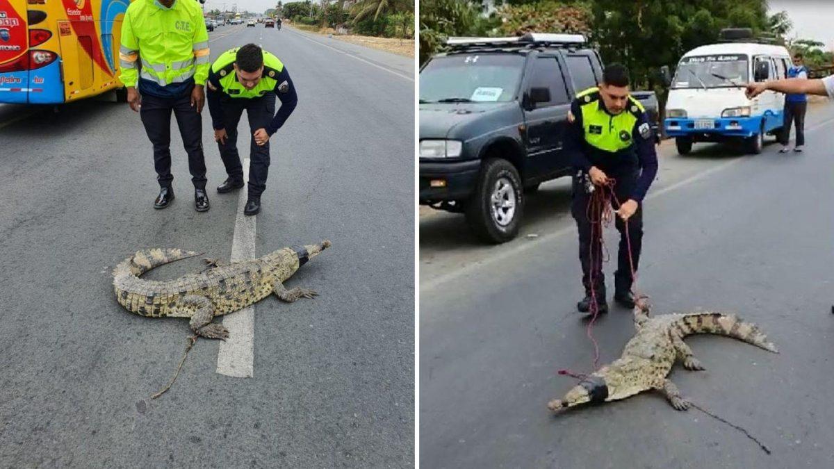 VIDEO   Encuentran a cocodrilo en plena carretera: entérese qué pasó con él