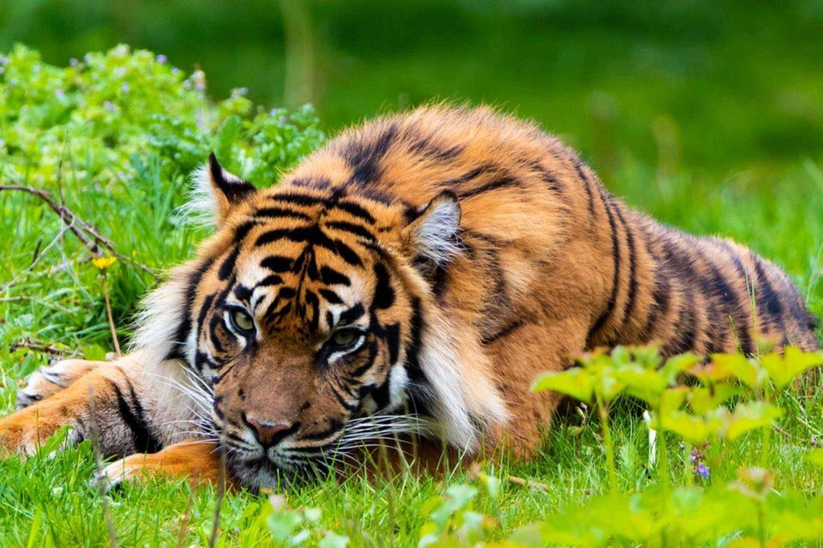 Un tigre mató a un niño de 10 años tras arrastrarlo hacia un bosque en India
