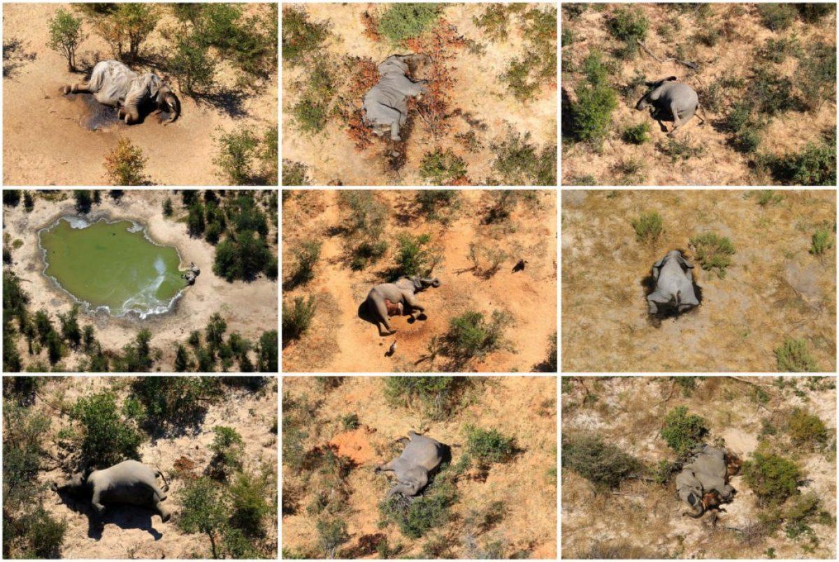 Misterioso virus estaría detrás de la muerte de más de 350 elefantes en Botswana