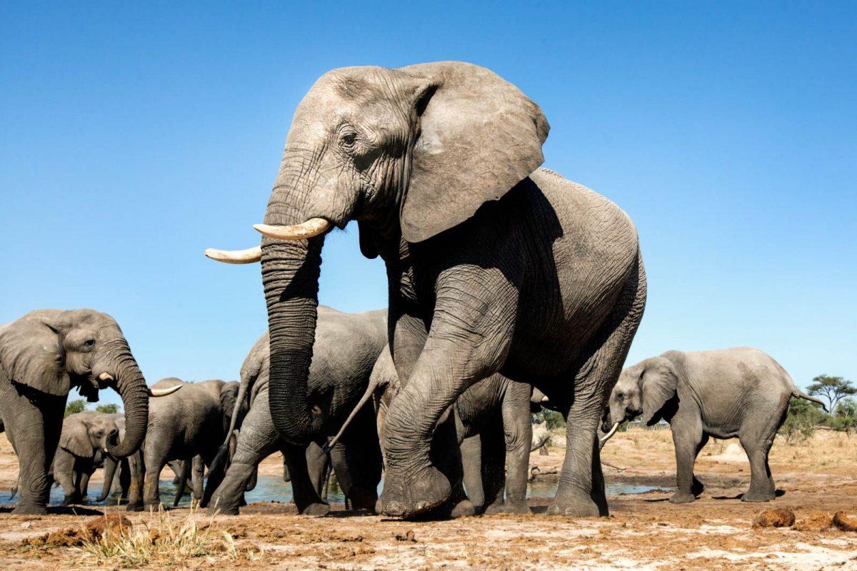 Cannabis antiestrés para los elefantes del zoológico de Varsovia