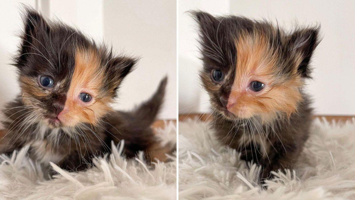 Descubren una rara gata con el rostro perfectamente dividido en dos colores