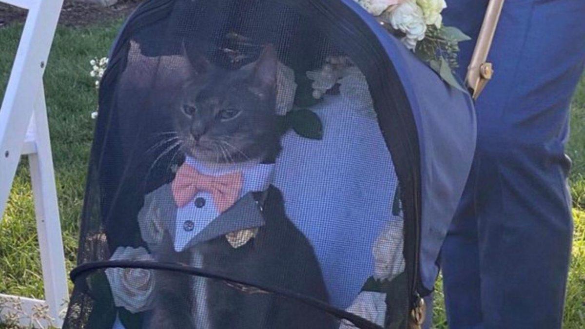 Un gato que hace de 'padrino' en una boda y se vuelve viral por su aspecto elegante