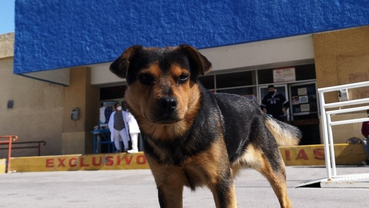 """Hachiko"" mexicano: Perro espera fuera de un hospital a dueño que murió de coronavirus"