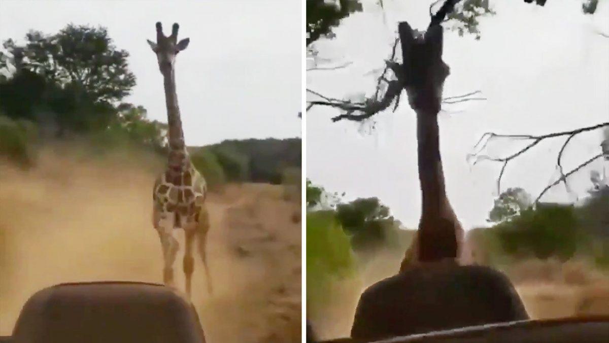 VIDEO: Una jirafa persigue a un carro lleno de turistas
