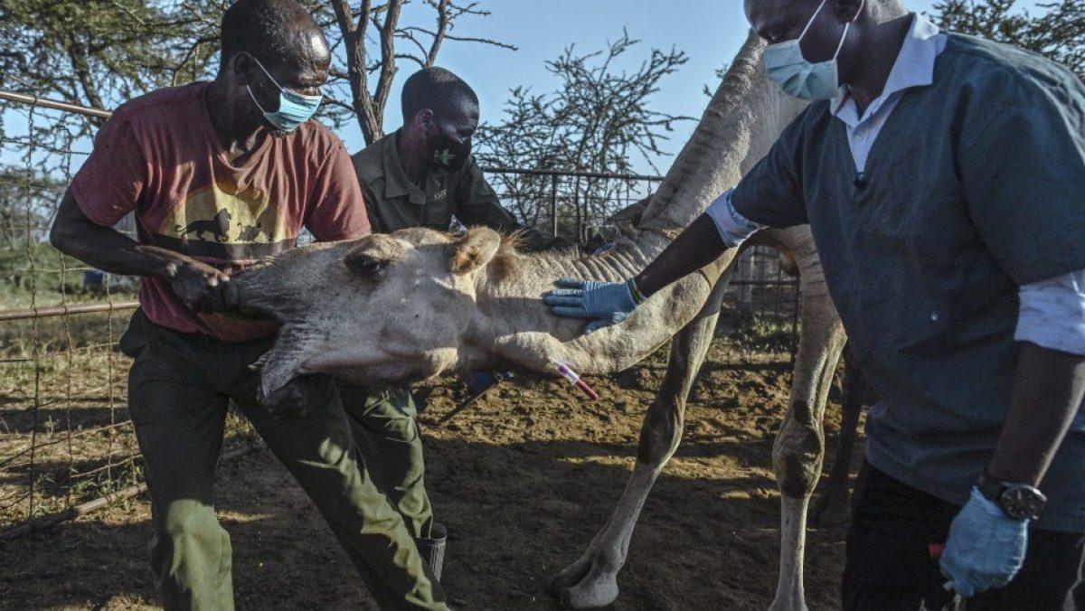 Kenia busca el nuevo virus que generaría la siguiente pandemia