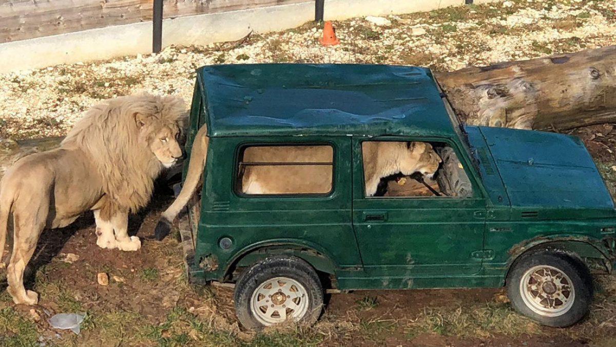FOTO: Capta a un león 'conduciendo' un todoterreno en un zoológico