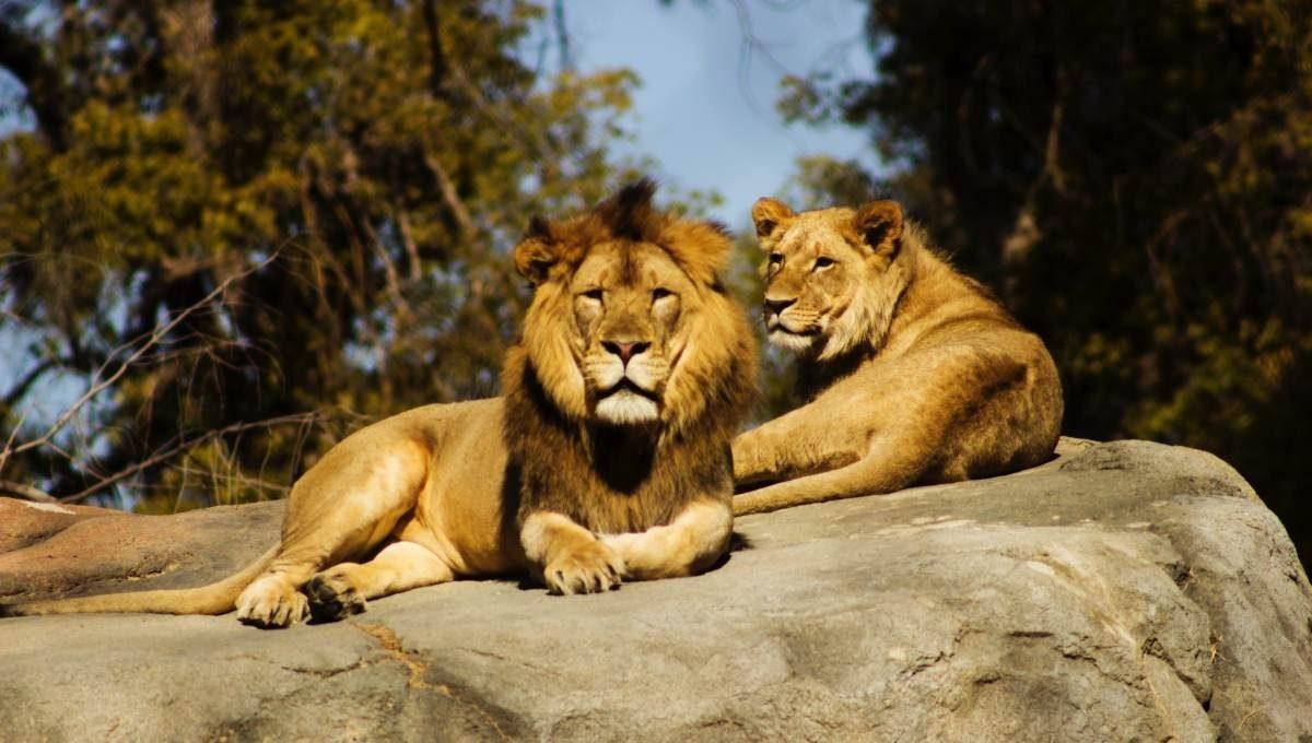 Ocho leones dan positivo para covid-19 en un zoo de la India