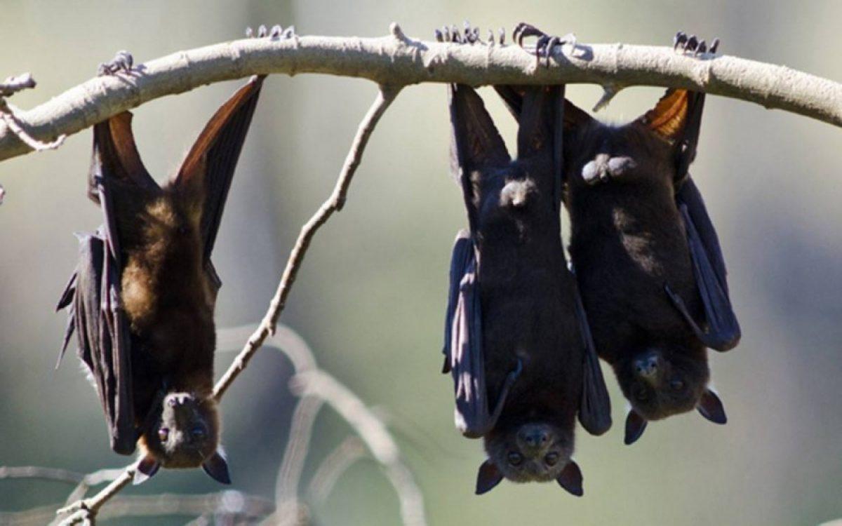Existen otros tipos de coronavirus en murciélagos capaces de pasar a los humanos