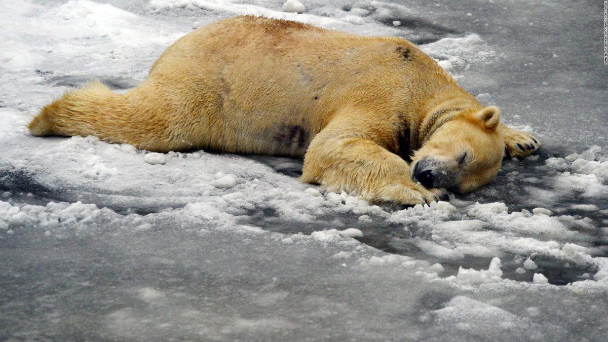Advierten que osos polares podrían extinguirse antes de 2100 producto del calentamiento global