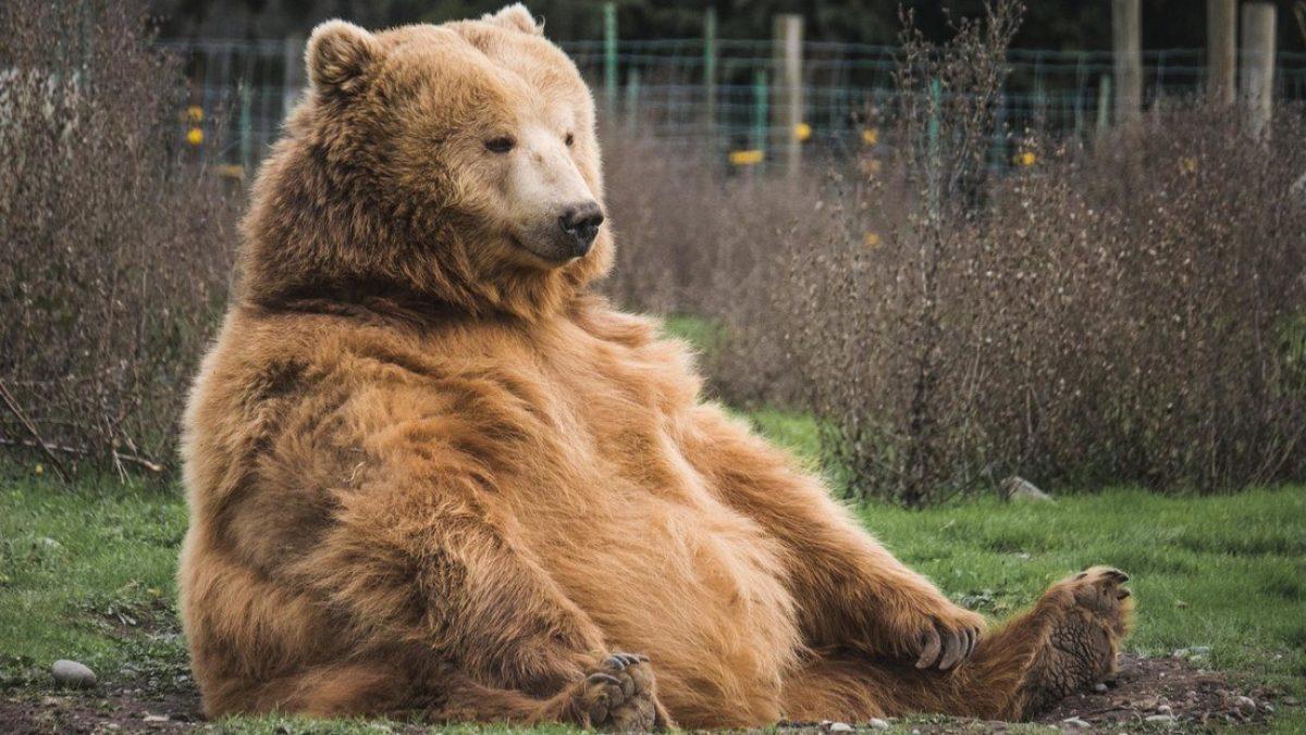 VIDEO: Un oso entra en un supermercado y se lleva una funda de golosinas