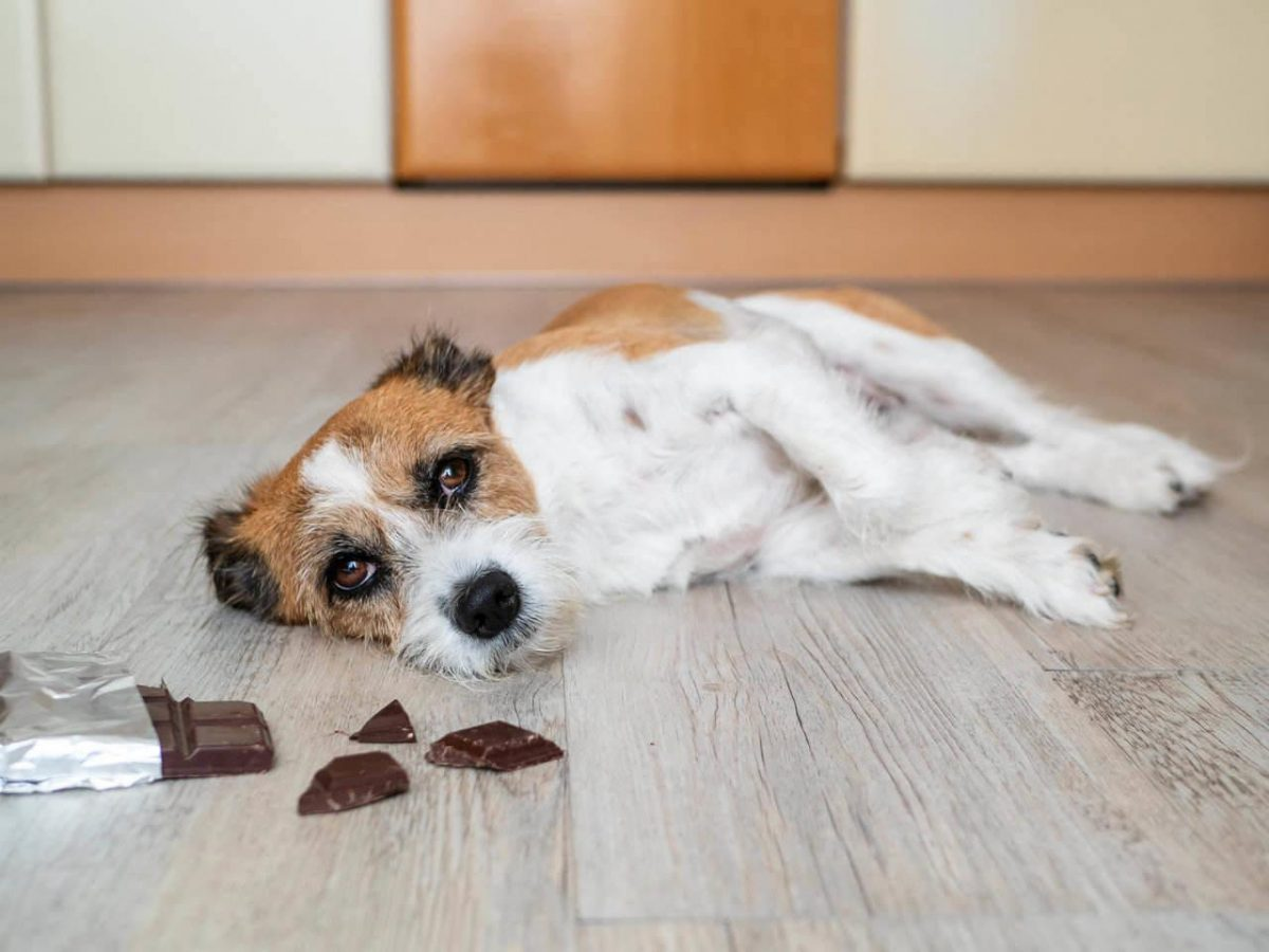 Por qué el chocolate puede ser mortal para los perros y qué hacer en esos casos