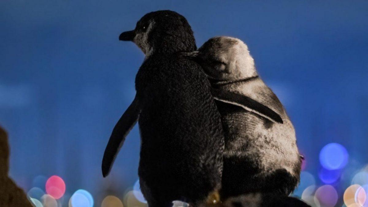 Pingüinos viudos se consuelan cada noche tras perder a sus parejas y conmueven al mundo
