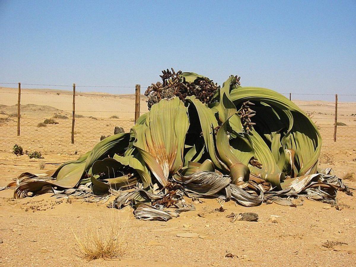"""Welwitschia: Así es la planta que """"no puede morir"""""""
