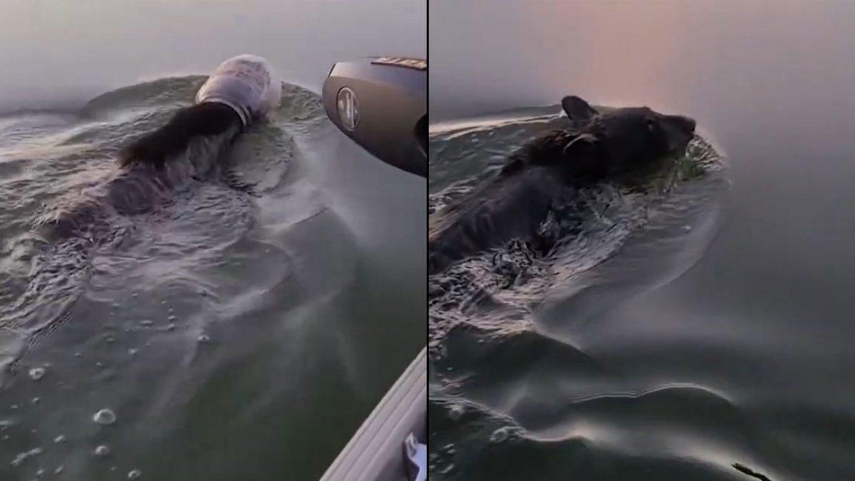 VIDEO | Salvan a un oso que nadaba un contenedor plástico en la cabeza