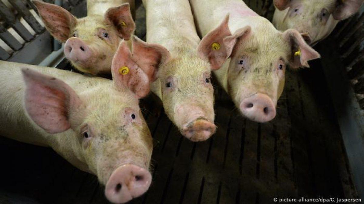 Brote de peste porcina africana tiene en alerta a Centroamérica y México