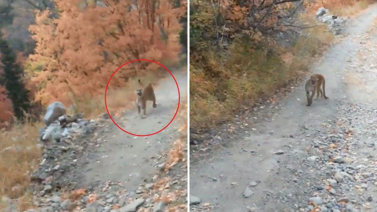 VIDEO | Los angustiantes minutos de un hombre que fue perseguido por un puma