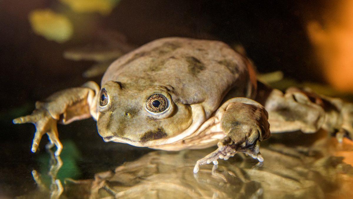 Varios países unen fuerzas para salvar de la extinción a la rana acuática más grande del mundo